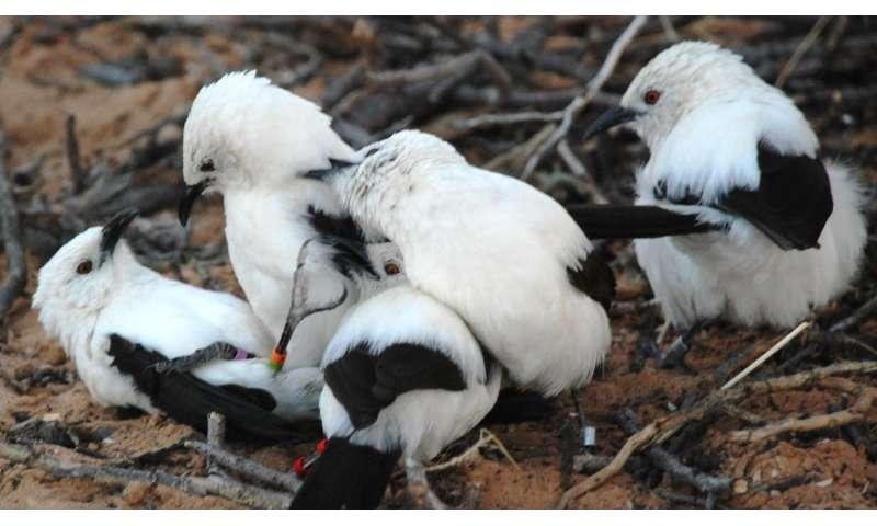 African bird shows signs of evil stepdad behavior