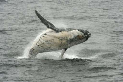 A humpback whale is seen jumping out of the water off the western Antarctic peninsula