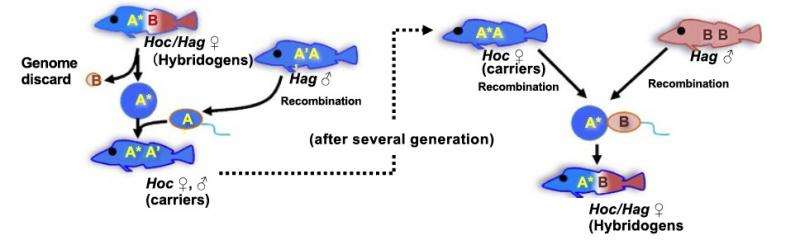 "All-female hybrid fish species ""uses"" males for better genetics"