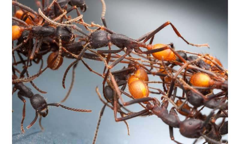 Ant genomics help reshape biological history of the Americas
