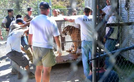 A Siberian tiger named Kimbo is transported in a cage back to her enclosure upon return at the Wildlife Waystation in Sylmar, Ca