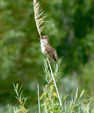 A songbird's travelogue