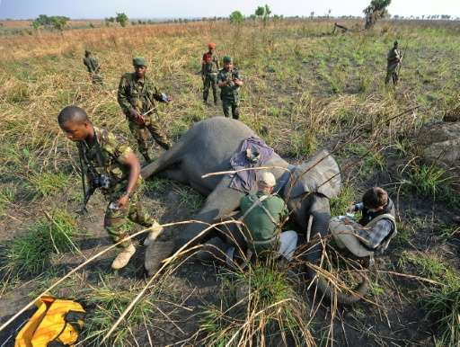 A young female elephant lies sedated as Garamba National Park rangers attach a GPS collar to track her movements