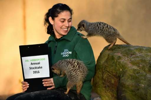 A zookeeper poses with meerkats during the annual compulsory stocktake at London Zoo on January 4, 2016