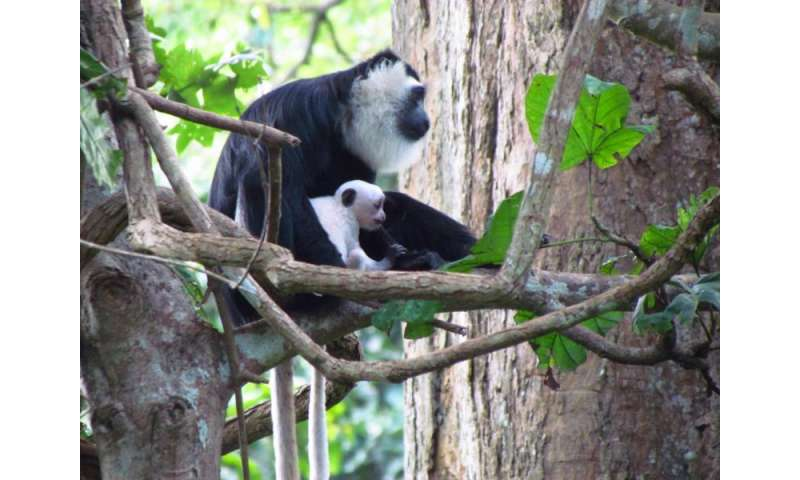 Baby monkeys grow faster to avoid being killed by adult males