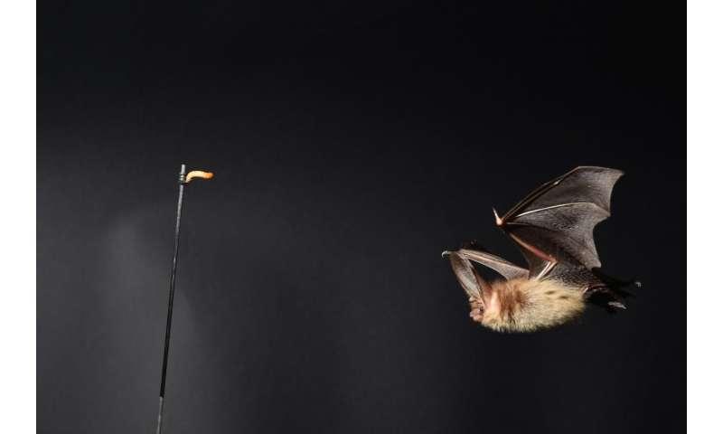 Bats' flight technique could lead to better drones