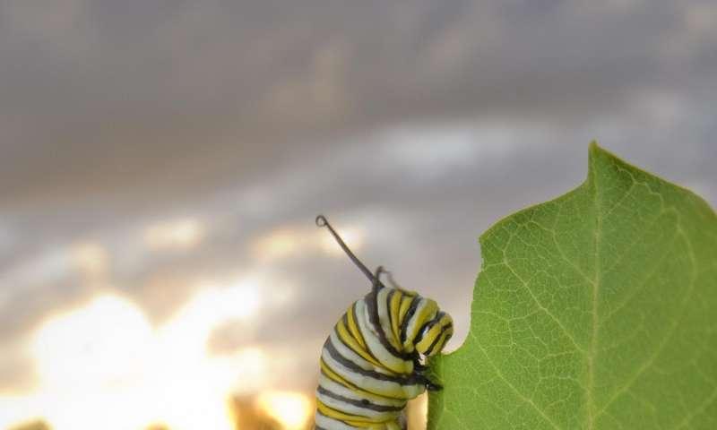 Beyond milkweed: Monarchs face habitat, nectar threats