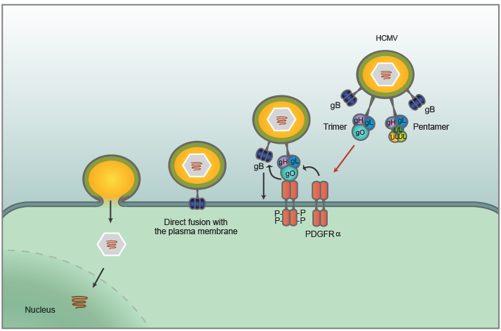 Cellular receptors for human cytomegalovirus discovered