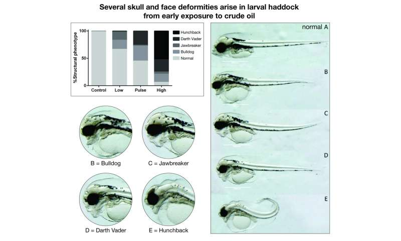 Crude oil causes heart and skull deformities in haddock
