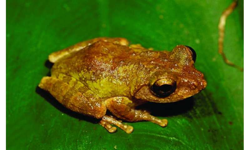 Emerald and gold: Two new precious-eyed endemic tree frog species from Taiwan