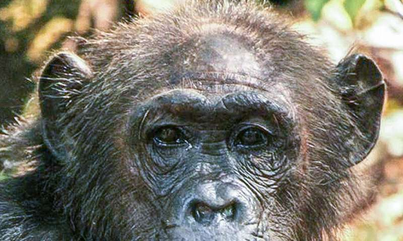 Female chimpanzees don't fight for 'queen bee' status