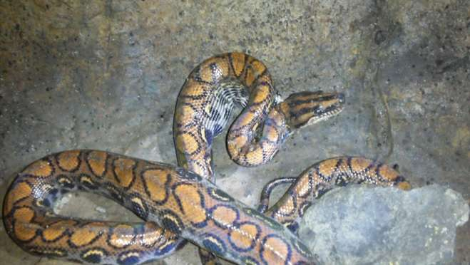 First description and video of a rainbow boa preying on a vampire bat in a cave in Ecuador