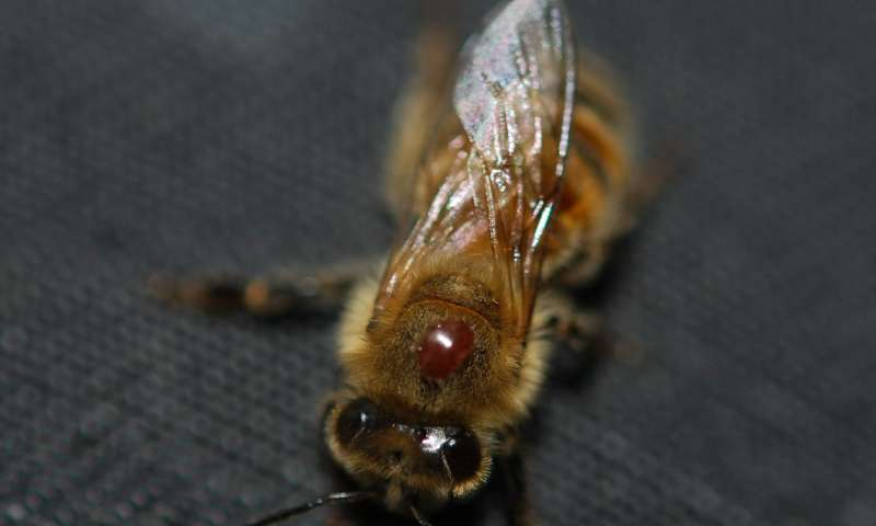 First multi-year study of honey bee parasites and disease reveals troubling trends