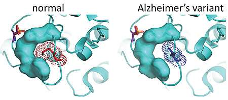 Genetic variations that boost PKC enzyme contribute to Alzheimer's disease