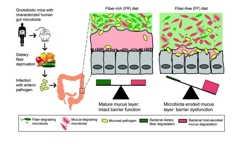 High-fiber diet keeps gut microbes from eating colon's lining, protects against infection