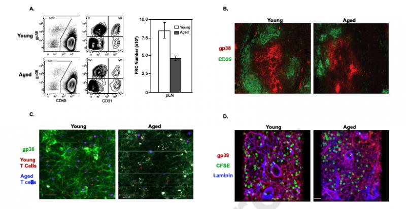 How naïve T cells decline with age