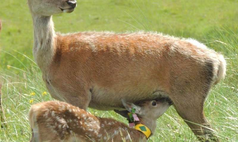 Inbreeding impacts on mothering ability, red deer study shows