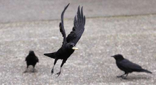 In death, a crow's big brain fires up memory, learning