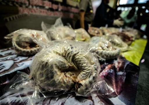 Indonesian police display some of 657 dead and frozen pangolins seized in Surabaya, East Java