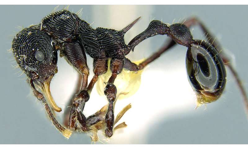 In the belly of the Devil: New rare ant species found in the stomach of a poison frog