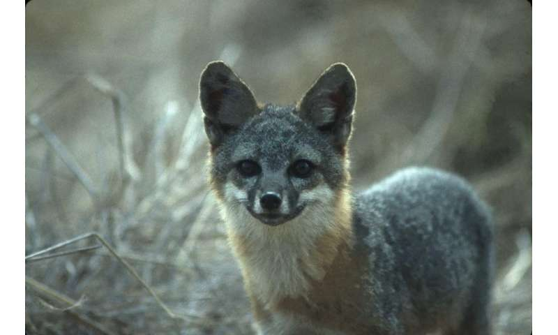 Island foxes may be 'least variable' of all wild animals