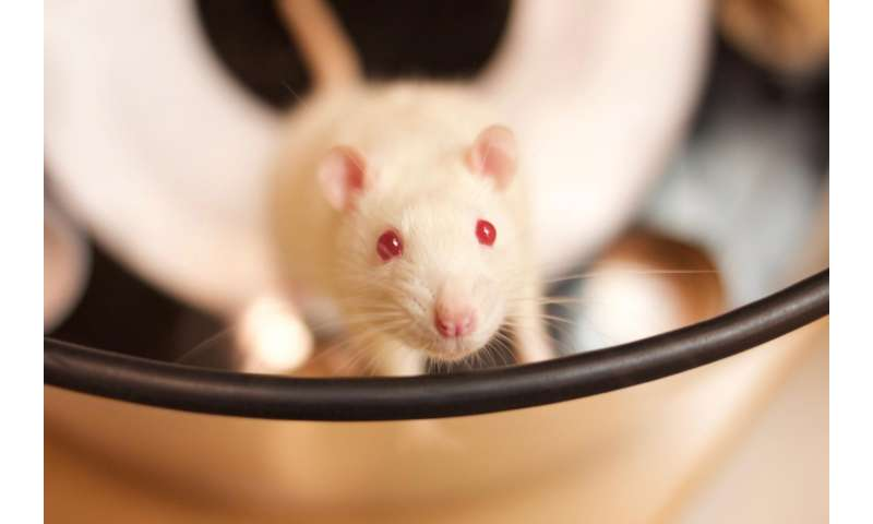 IU study reveals rats have greater episodic memory than previously thought