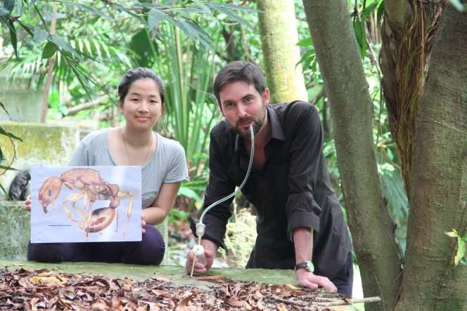 New ant species Paratopula bauhinia (Golden Tree Ant) described from Hong Kong by HKU biologists