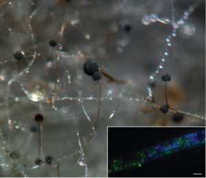 Novel mechanism in bacterial-fungal symbiosis could have biodiesel production applications