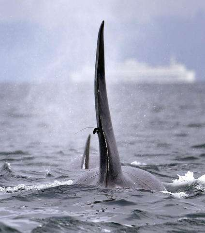 Orca tagging stops after dead whale found with fragments
