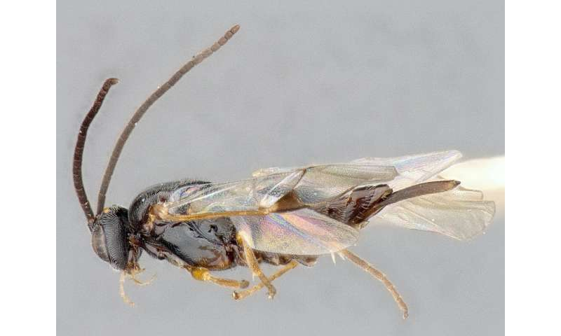 Ottawa confirmed as the biodiversity hotspot for a subfamily of wasps in North America