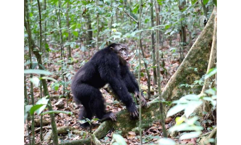 Oxytocin enhances social affiliation in chimpanzee groups