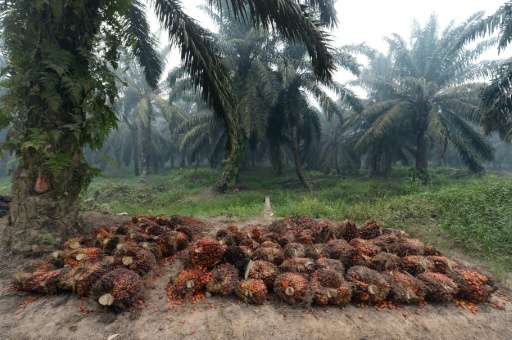 Palm oil seeds are harvested at a plantation area in Pelalawan, Riau province on Indonesia's Sumatra island