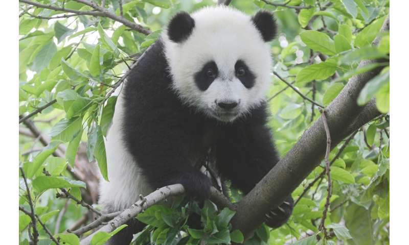 a8565a52a913 A giant panda perched in a tree. Credit  Zhang Zhihe.
