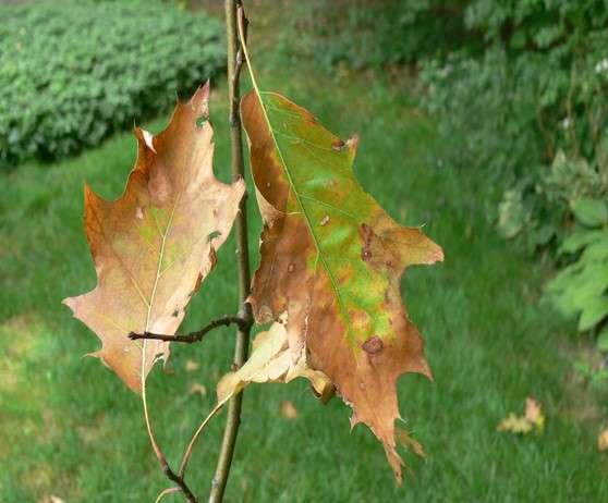 Plant disease clinic identifies new case of oak wilt