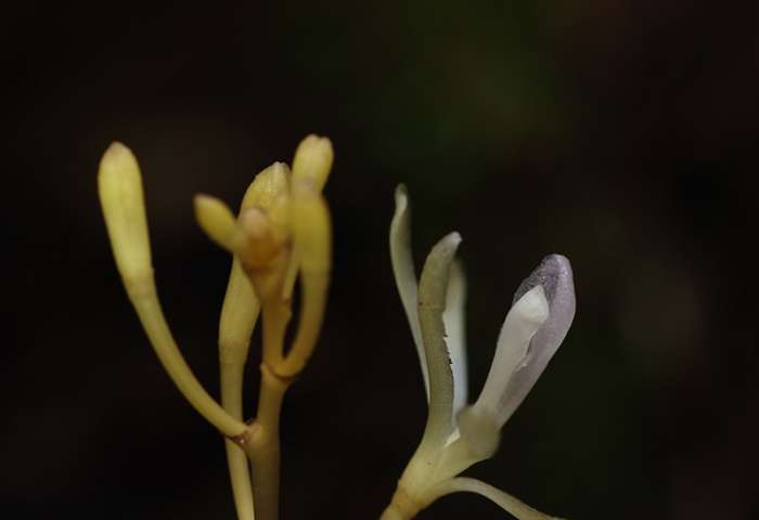 Plants cheat too: A new species of fungus-parasitizing orchid