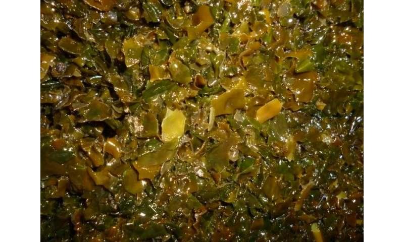 Replacing dietary salt with seaweed