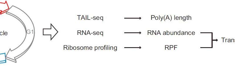 Role of poly(A) tails in mitosis