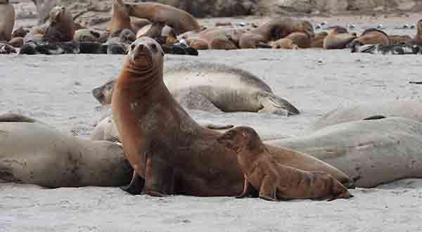 Saving californias seals and sea lions publicscrutiny Images