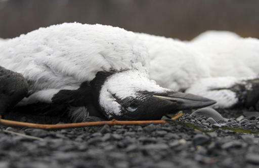 Seabird die-off takes twist with carcasses in Alaska lake