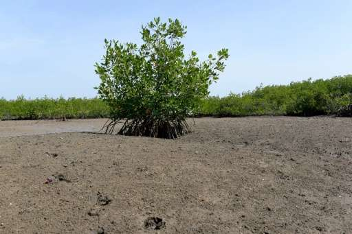 Senegal has lost 40% of its mangroves since the 1970s, according to a local ecologist