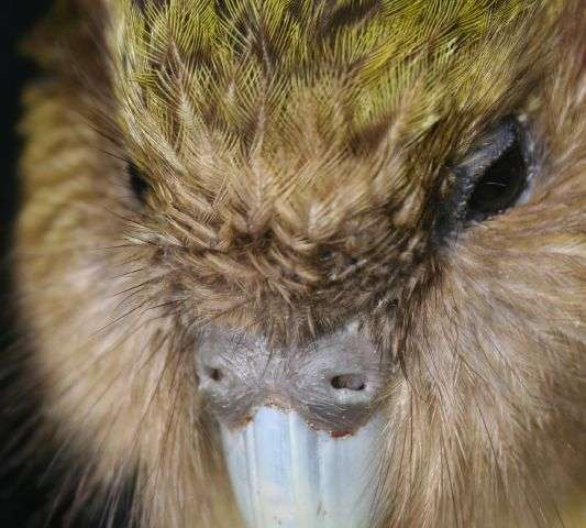 Sequencing the genome of the endangered kakapo