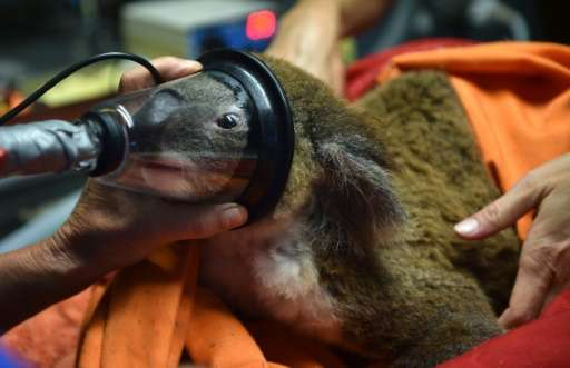 Sherwood Robyn, a 12-year-old koala, is already experiencing advanced stages of chlamydia and will likely die a painful death wi