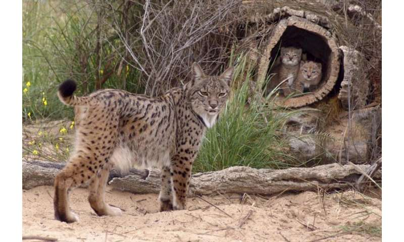 Spanish scientists sequence the genome of the Iberian lynx, the most endangered felid