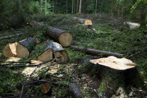 Sprawling across 150,000 hectares, the Bialowieza forest reaches across Poland's border with Belarus