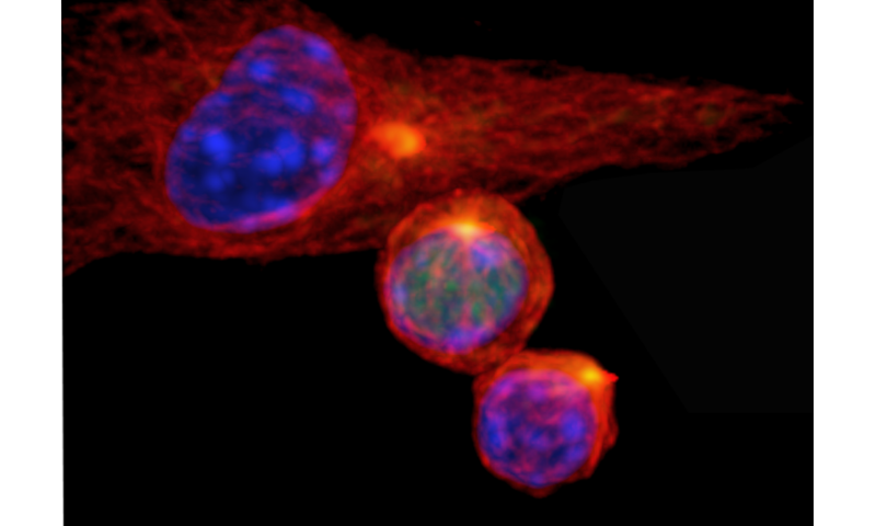 St. Jude researchers reveal how 2 types of immune cells can arise from 1