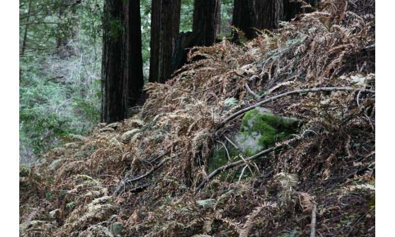 Study documents drought's impact on redwood forest ferns