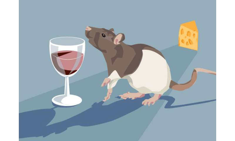 Study in rats finds low blood alcohol levels have no effect on total calories consumed