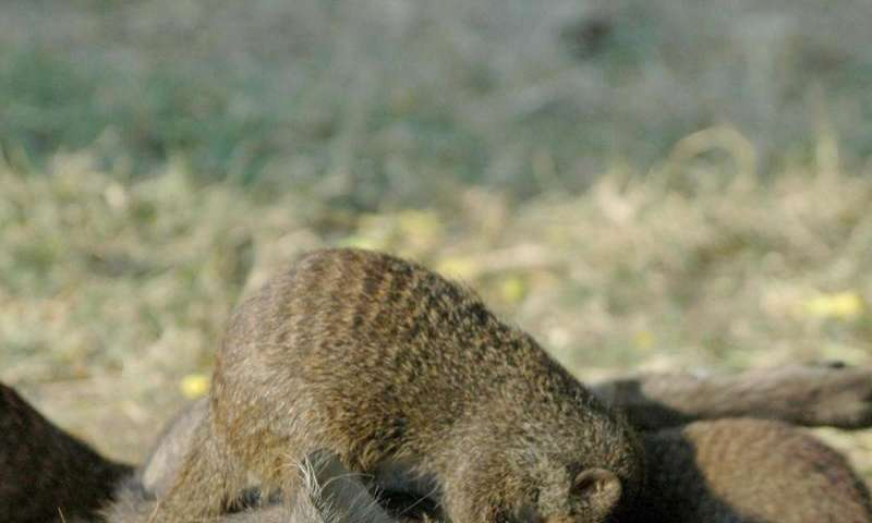 Suffering warthogs seek out nit-picking mongooses for relief