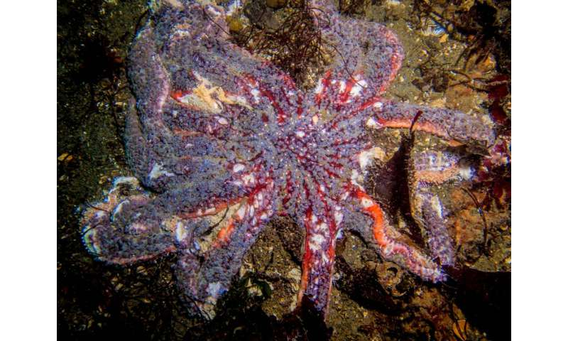 Survey shows impact of sea star wasting disease in Salish Sea
