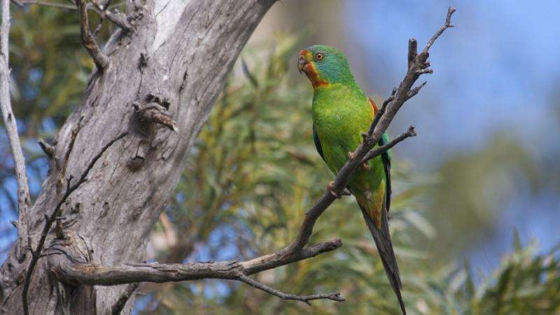 Swift parrot critically endangered